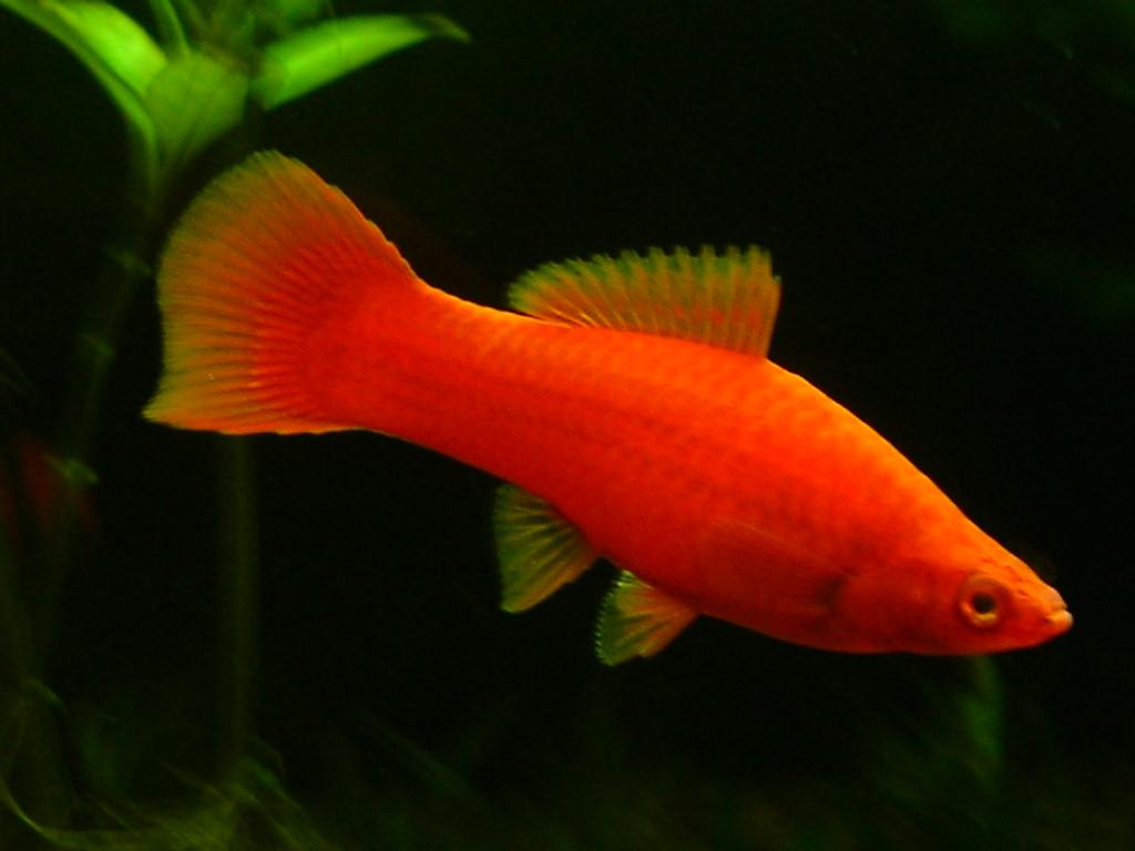 Red Swordtail Fish Akvaryum.com forum: k?z?m iin
