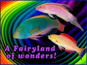 Fairy Wrasses