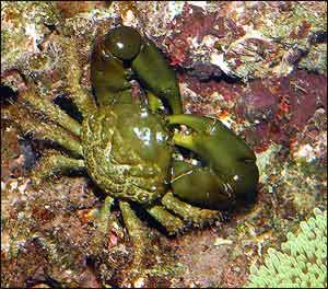 Emerald Crab or Green Clinging Crab, Mithraculus sculptus