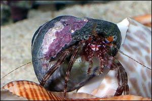 Reef Hermit Crab, Clibanarius rhabdodactylus