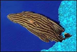 Catfish Varieties: Royal Plecostomus, Panaque nigrolineatus