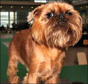 See Brussels Griffon