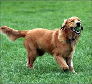 Golden Retriever, a Sporting Dog Breed