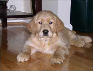 Golden Retrievers and other best dog breeds