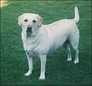 Labrador Retriever, a Sporting Dog Breed