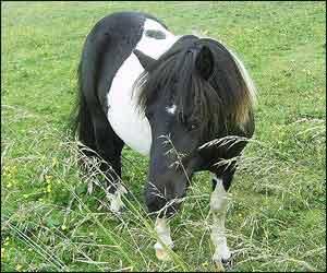 Pony Breed - Shetland Pony