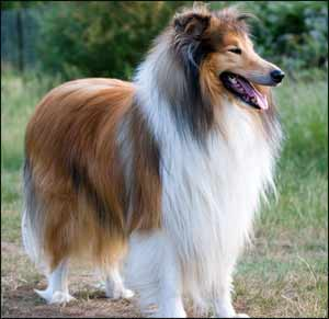 Rough Collie, a Herding Dog Breed