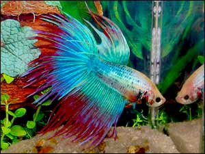 is your betta sick here s what to do