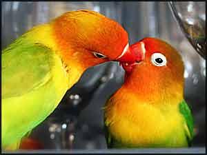 Fischer's Lovebirds