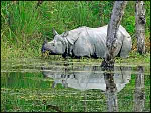 One-Horned Rhino, Rhinoceros unicornis. See more interesting animals