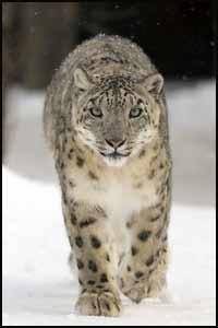 Snow Leopard, Uncia uncia