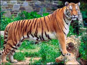 Bengal Tiger, Panthera tigris. See more interesting animals