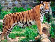 Amazing Facts About Bengal Tigers