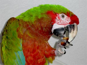 More about Hemingway and Calico Macaws