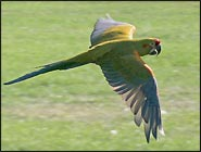 Colorful Macaw enjoys the challenge of the race, and wins!