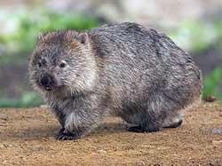 Wombat Adult