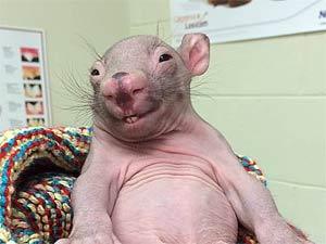 Wombat baby, see a Ringtail Possum marsupial too