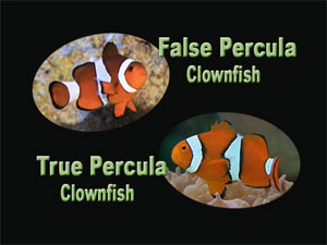 See all types of clownfish
