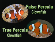 True Percula Clownfish, Nemo's Look-alike cousin, Under Protective Scrutiny
