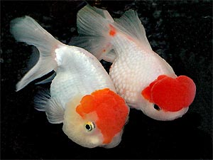 Fancy Goldfish Types