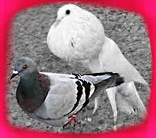 Dove and Pigeon Types