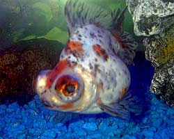 Telescope Goldfish