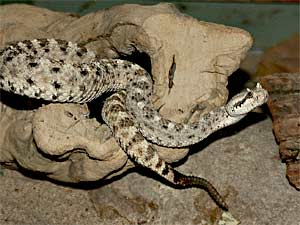 See all types of Rattlesnakes