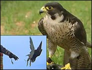 Fastest Animals, Peregrine Falcon Smoothly Outstrips Free-falling Skydivers