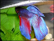 Breeding Bettas Part 2: Five Steps for Spawning Bettas