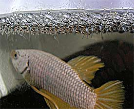 how to clean a fish tank with a bubble nest