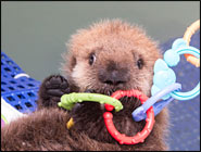 Baby Sea Otter, Brink of Death to a Rising Star