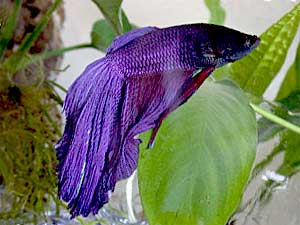 Learn more about Bettas, Siamese Fighting Fish