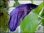 Clarice for Male veiltail betta fish