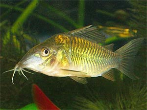Emerald Green Cory, Corydoras splendens, Emerald Catfish