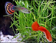 Guppies, Tiny Gems of the Aquarium!