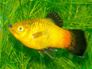 Gold Wagtail Platy, Xiphophorous maculatus hybrid, Moonfish