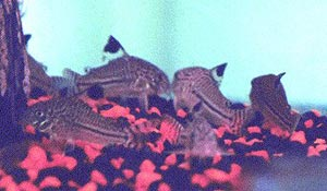 Julii Cory, Corydoras julii
