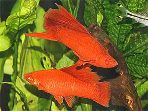 Red Swordtail Fish, Xiphophorous hellerii