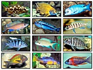African Cichlids, Meet the world record breakers!