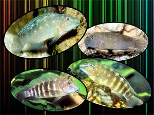 See all types of cichlids