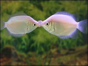 Kissing Gouramis!