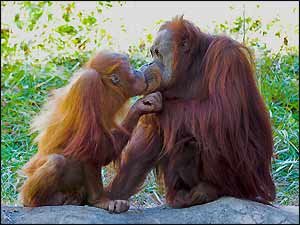 Image of: Girl Kissing Orangutans Animalworld 15 Cute Animals Kissing Sharing Valentines Day Love