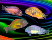 For a Rainbow Aquarium, Tropheus Moorii cichlids have it all!