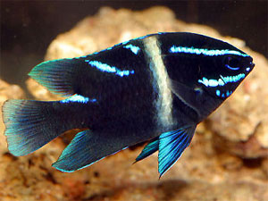 Damselfish Family, All about Damsels and Chromis