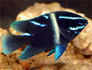 Delightful Damselfish, Color and spunk in the aquarium!