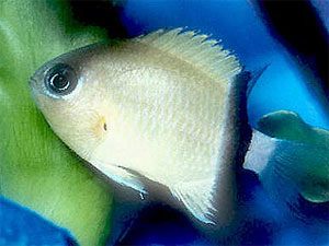 Black Bar Chromis, Chromis retrofasciata