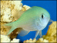 Blue Green Chromis, The darling of the Damselfishes