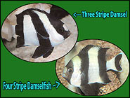 Dynamic Dascyllus! Three and Four Stripe Damselfish