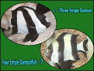 Dynamic Dascyllus! Three and Four Stripe Damselfish