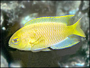 Canary Damsel, Brightly colored spunk and grace